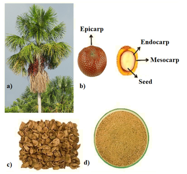 Appearance of Mauritia flexuosa L palm tree (A), its whole and sectioned fruits, and their (B), dry (C) and ground endocarps (D).
