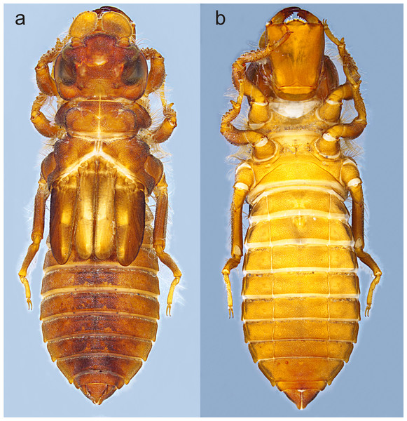 Habitus of Perigomphus basicornis, F-0 larva: (A) dorsal; (B) ventral.
