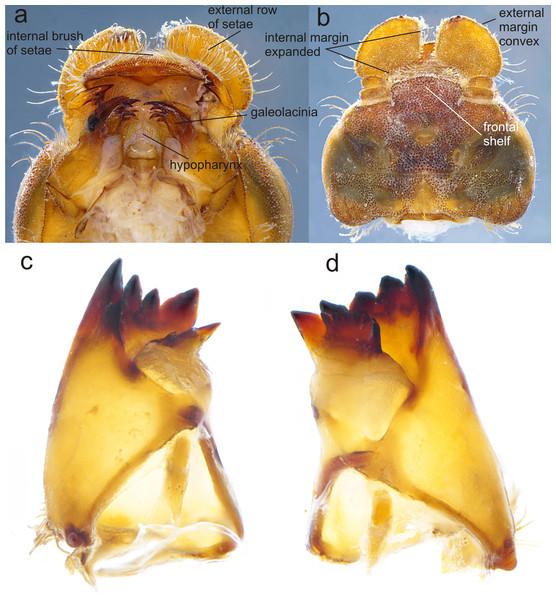 Details of the morphology of Perigomphus basicornis.