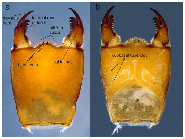 Prementum of Perigomphus basicornis:. (A) ventral; (B) dorsal.