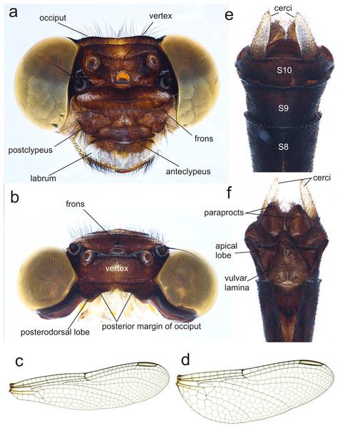 Details of the morphology of Perigomphus basicornis, female imago.
