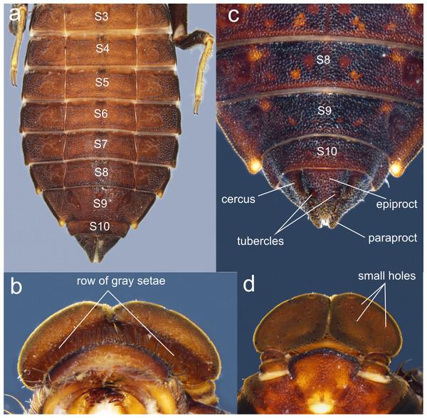 Details of the morphology of Perigomphus pallidistylus larva.