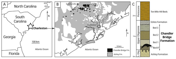 Geographic and geologic context of Agorophius sp. specimens in South Carolina.