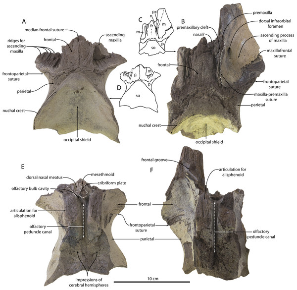 Skulls of Agorophius. sp. (CCNHM 1921, 1922) from the Chandler Bridge Formation (A–E).