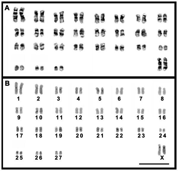 Karyotypes of a female T. moojeni (2n=56, FN=106).