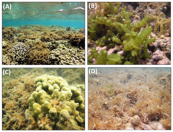 Invasive macroalgae species found on study reefs in Kāne'ohe Bay.