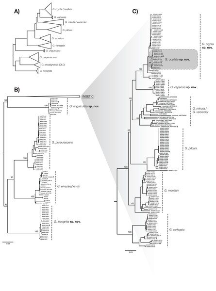 ML phylogenetic tree of reduced specimen dataset, based on ND2 gene, for Gehyra species considered here.