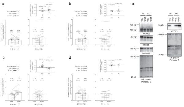 No significant main effects or cluster × time interactions existed for myofibrillar protein levels of ACTN2 (A), MYOT (B), or SORBS2 (D).