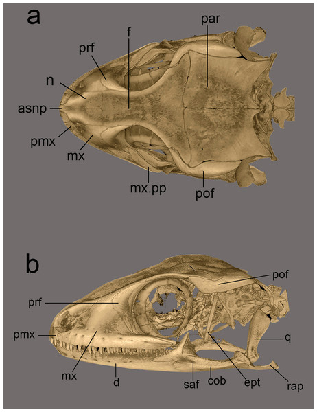 Micro-CT scan images of the skull of male paratype NCBS AU719.