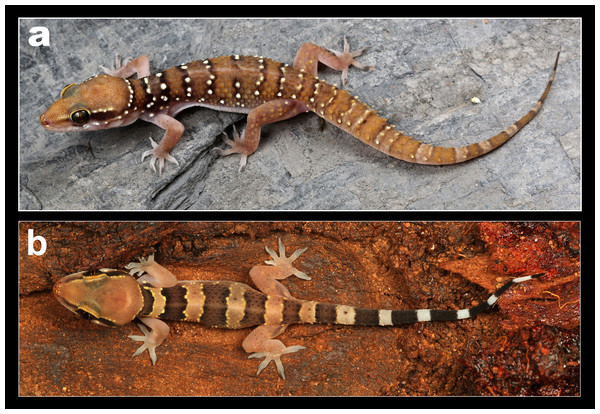 Coloration in life of H. whitakeri sp. nov.