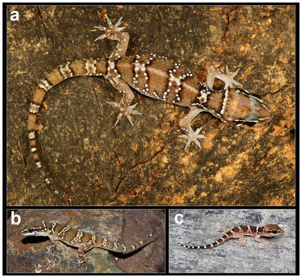 Coloration in life of H. sahgali sp. nov.