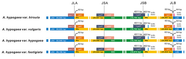 The comparison of the LSC, IR, and SSC border regions among the four peanut chloroplast genomes.