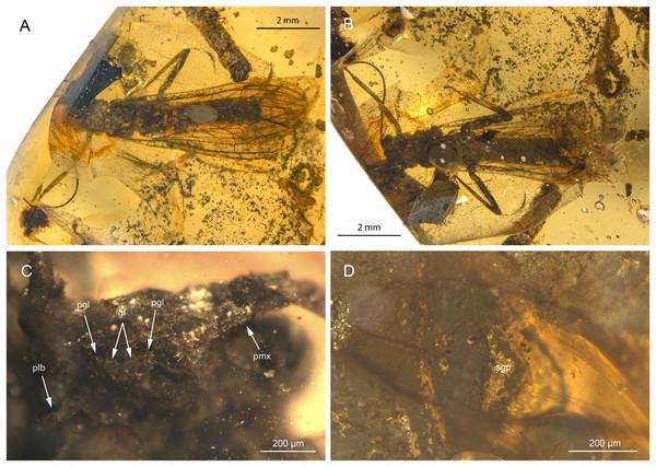 Petroperla mickjaggeri gen. nov. sp. nov., holotype SMNS BU-79, photographs.
