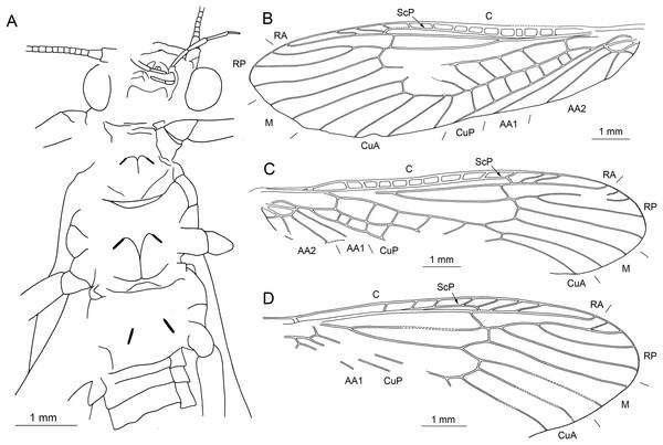 Largusoperla micktaylori sp. nov., holotype SMNS BU-227, line drawings.