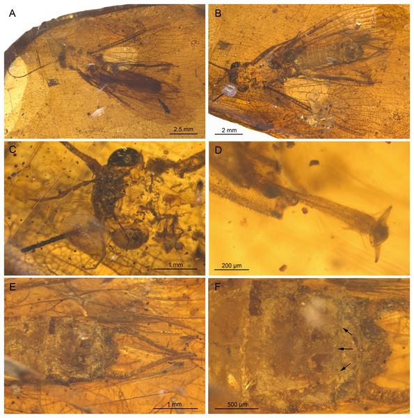Largusoperla micktaylori sp. nov., paratype SMNS BU-312, photographs.