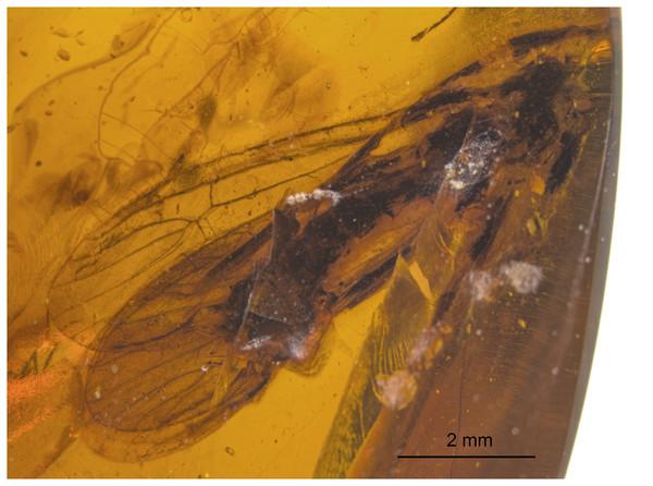 Acroneuriinae spp., SMNS BU-99, photograph.
