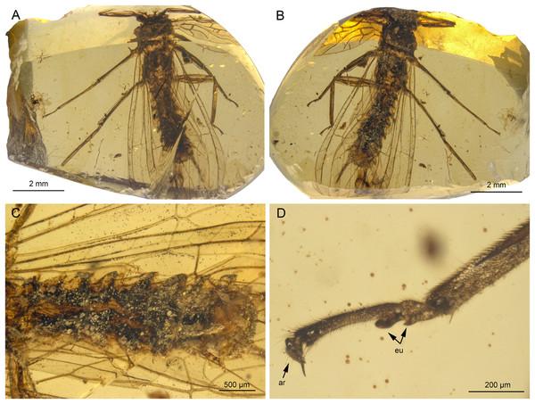 Lapisperla keithrichardsi gen. nov. sp. nov., holotype SMNS BU-313, photographs.