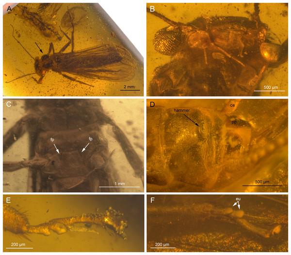 Largusoperla charliewattsi sp. nov., holotype SMNS BU-10, photographs.