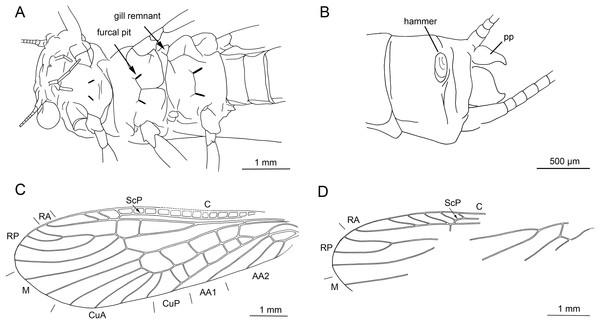 Largusoperla charliewattsi sp. nov., holotype SMNS BU-10, line drawings.
