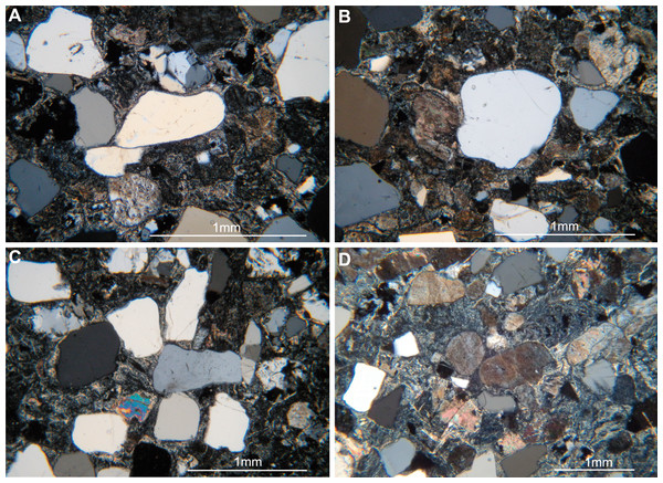 Thin sections (MPCA 27029/19.1 and MPCA 27029/19.2) of track-bearing slab MPCA 27029-19.