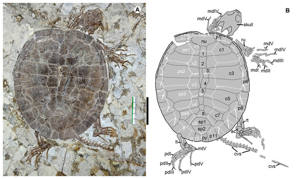 Jeholochelys lingyuanensis gen. et sp. nov. (Holotype, PMOL-AR00211; A and B, in dorsal view) from the Early Cretaceous Jiufotang Formation of Sihedang, Lingyuan, western Liaoning, China.