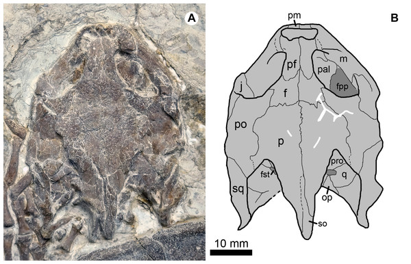 Cranial structure of Jeholochelys lingyuanensis gen. et sp. nov. (Holotype, PMOL-AR00211; A and B, in dorsal view).