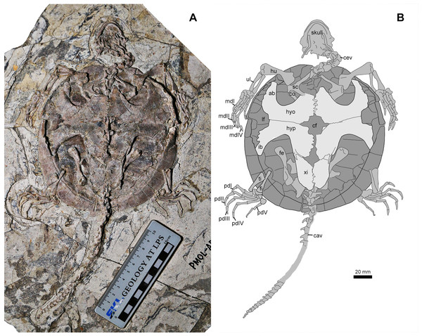Jeholochelys lingyuanensis gen. et sp. nov. (PMOL-AR00213; A and B, in ventral view) from the Early Cretaceous Jiufotang Formation of Sihedang, Lingyuan, western Liaoning, China.