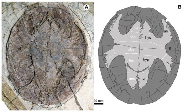 Jeholochelys lingyuanensis gen. et sp. nov. (PMOL-AR00218; A and B, in ventral view) from the Early Cretaceous Jiufotang Formation of Sihedang, Lingyuan, western Liaoning, China.