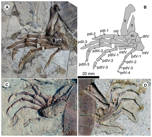 Pedes of Jeholochelys lingyuanensis gen. et sp. nov.