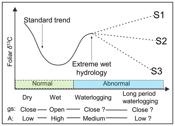 Schematic view of the possible foliar δ13C values under various hydrological conditions.