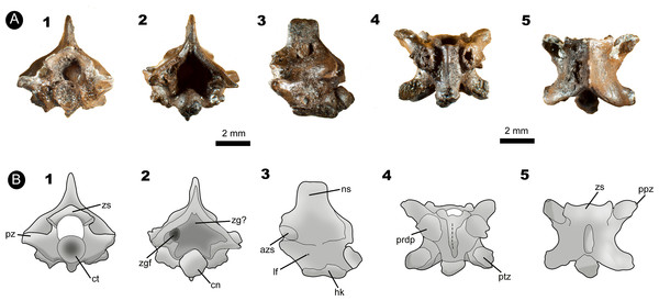 Fossil specimen IVIC OR–6113.