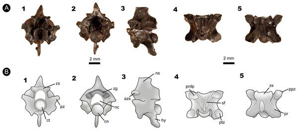 Fossil specimen of IVIC MI–004.