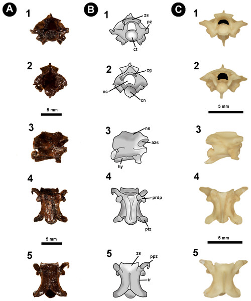 Fossil specimen of IVIC OR–2619.