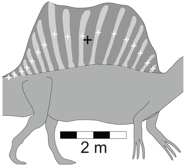 Detailed view of the Spinosaurus 'sail' and its associated neural spines (after Ibrahim et al. (2014)).