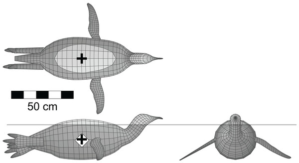 Dorsal, lateral and anterior views of the floating model of the emperor penguin (Aptenodytes forsteri).