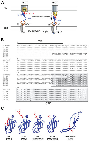 TonB-dependent energy transduction system and structures of differently dissected E. coli TonB.