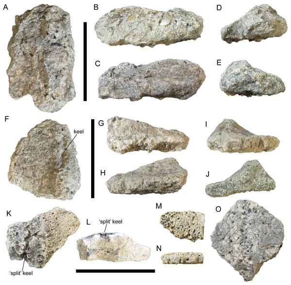 Thoracic osteoderms of UMNH VP 28351, referred specimen of I. zephyri.