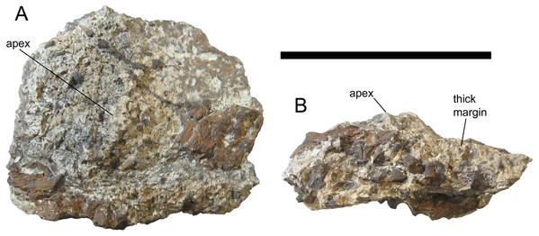 Pelvic osteoderm of UMNH VP 28351, referred specimen of I. zephyri.