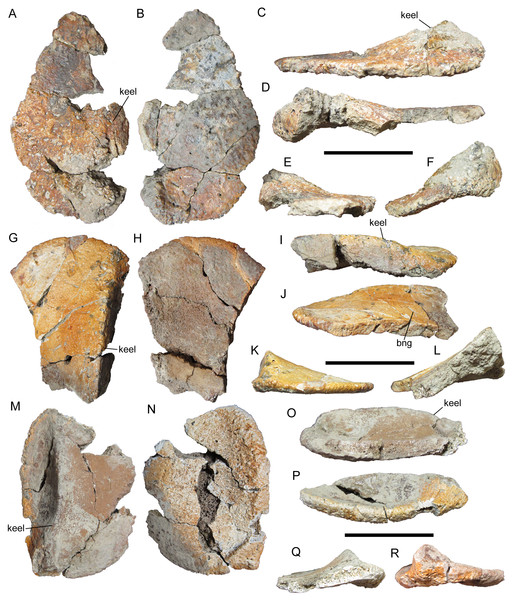 Cervical/pectoral osteoderms of WSC 16505, holotype of I. zephyri.