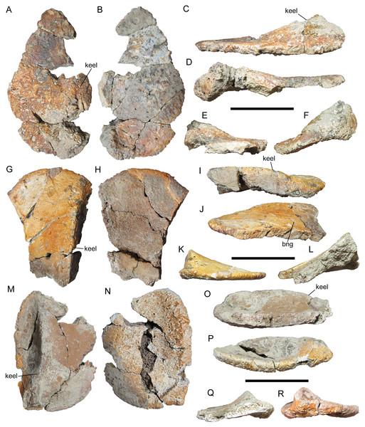 Cervical/pectoral osteoderms of WSC 16505, holotype of I. zephyri.