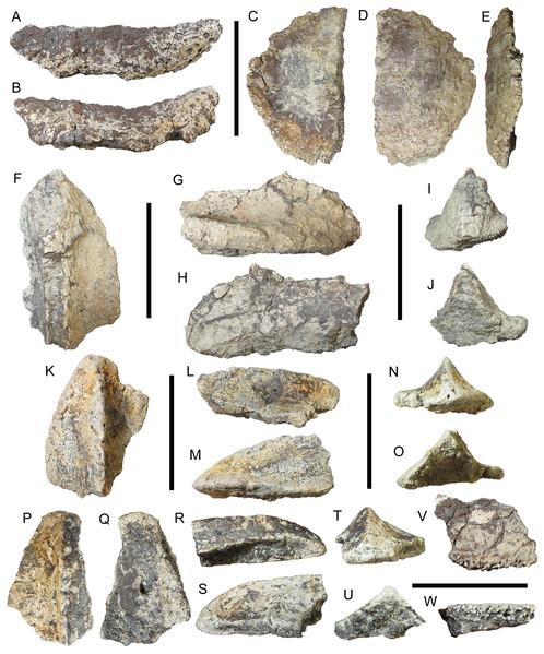 Osteoderms of UMNH VP 28350, referred specimen of I. zephyri.