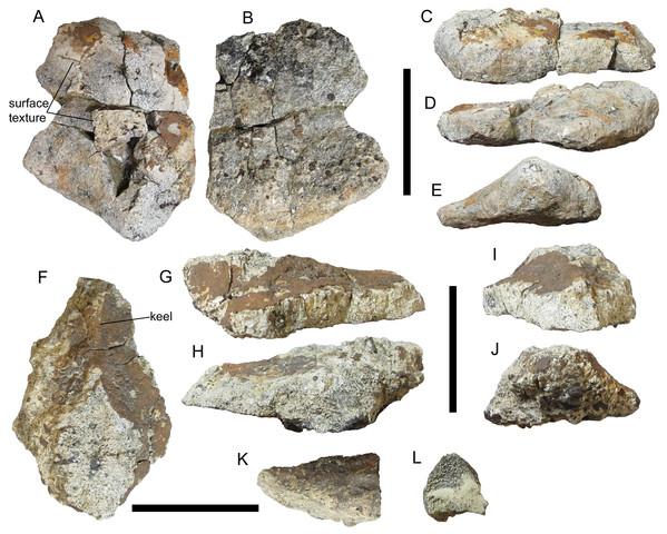 Cervical/pectoral osteoderms of UMNH VP 28351, referred specimen of I. zephyri.