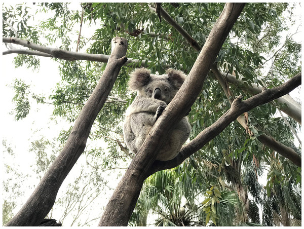 The koala (Phascolarctos cinereus): an arboreal folivorous marsupial.