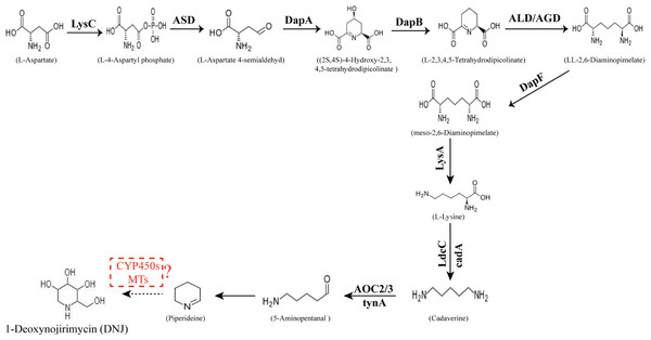 Proposed pathway for the biosynthesis of DNJ alkaloids in mulberry (Morus alba L.).