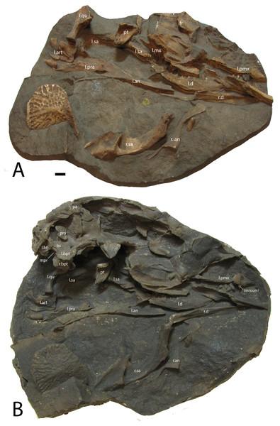 Casts of bones of Stagonolepis robertsoni.