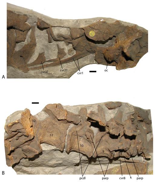 Presacral vertebrae of Stagonolepis robertsoni