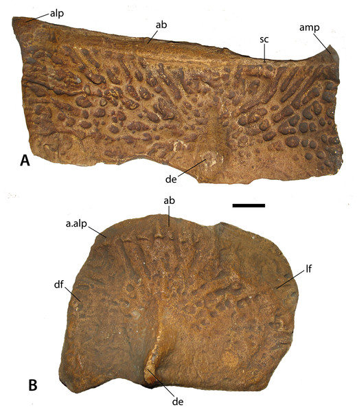 Casts of osteoderms of Stagonolepis robertsoni.