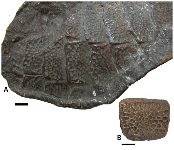 Ventral osteoderms of Stagonolepis robertsoni.