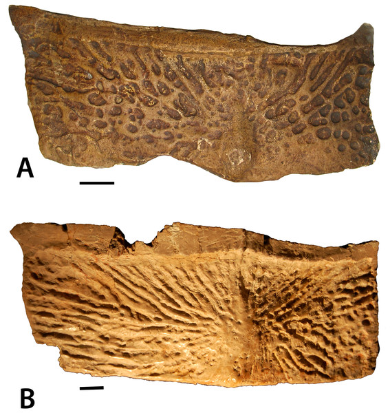 Dorsal trunk paramedian osteoderms of Stagonolepis.