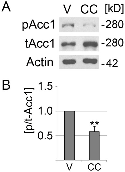 Compound C reduces significantly the phosphorylation of Acc1.